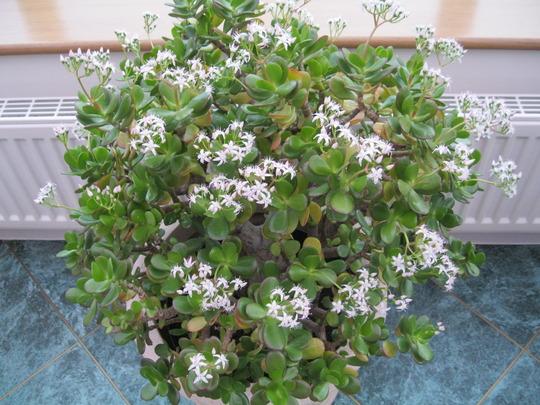Jade plant still flowering well :o)