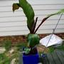 "bannana plant (Ensete ventricosum ""Maurelii"")"