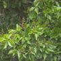 Calodendron capense - Cape Chestnut in Fremont, CA (Calodendron capense)