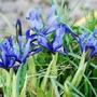 Iris reticulata  2- Feb.