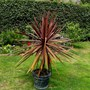 cordyline (Cordyline australis (New Zealand cabbage palm))