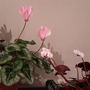 Cyclamen persicum & Cyclamen coum.  Brightening up the winter.