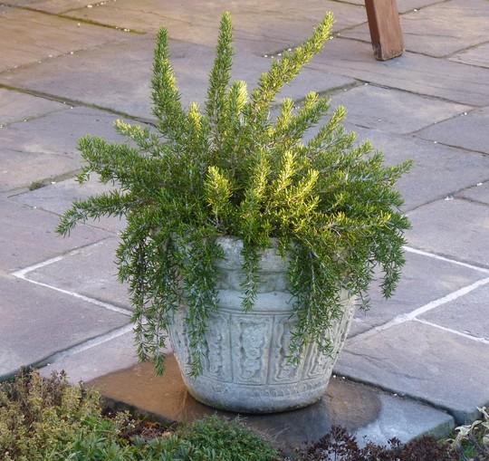 Rosemary 'Roman Beauty' (Rosmarinus officinalis (Rosemary))