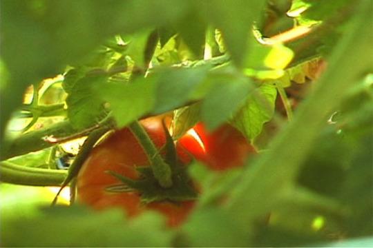 logo tomato of cover of DVD
