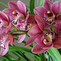 Cymbidium Orchid back in bloom