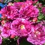 Old shrub rose