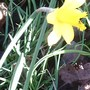 first daff of the year , east coast of england