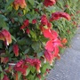 Mexican Shrimp plant and hibiscus