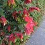 Shrimp_plant_and_hibiscus