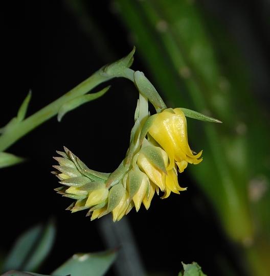 Echeveria pulidonis (Echeveria pulidonis)