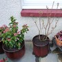 Rhododendron azalea luteum Daviesii (Rhododendron luteum Daviesii)