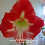 Amaryllis (2nd of 2015) Red with white stripes (VERY close up) 11-02-2015 002 (Amaryllis)