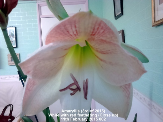 Amaryllis (3rd of 2015) white with red feathering (VERY close up) 11 02 2015 004 (Amaryllis)