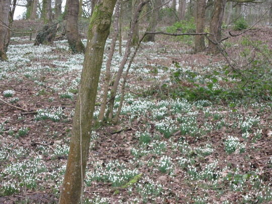 A very pretty snowdrop wood.