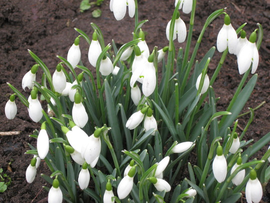 A close up of just one little clump of snowdrops.