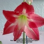 Amaryllis (5th of 2015) Red with white star now open on living room table (Very close up) 14-02-2015 009 (Amaryllis)