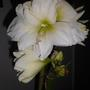 Amaryllis Artic White