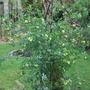 Coronilla glauca Citrina. (Coronilla valentina (Coronille))