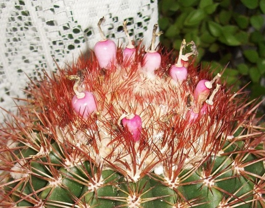 Melocactus broadwayi, with pink berries.