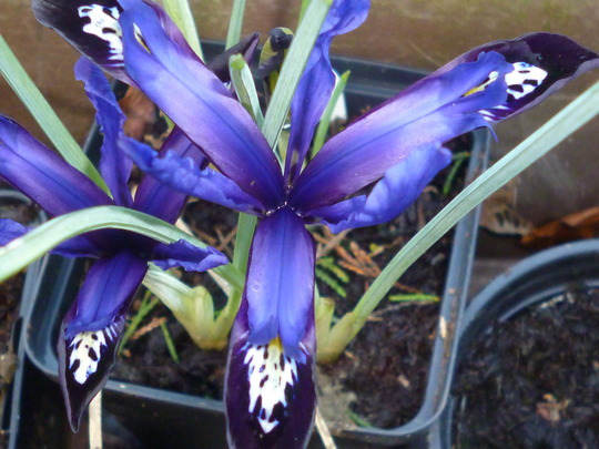 Iris reticulata 'Blue Note' (Iris reticulata 'Blue Note')