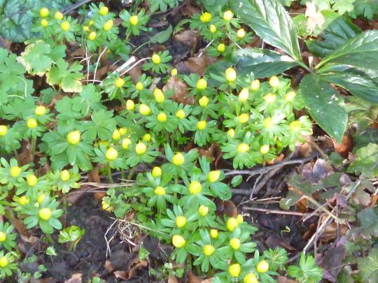 winter aconites in the afternoon sun (Eranthis hyemalis (Winter aconite))