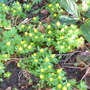winter aconites in the afternoon sun (Eranthis hyemalis (Winter aconite))