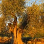 ancient olive tree near Cannes (olea europaea)