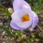 Crocus_chrysanthus_blue_pearl_2015