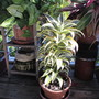 Dracaena 'White Surprise' after a full winter outdoors. (Dracaena.)