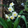 Narcissus canaliculatus... (Narcissus canaliculatus)