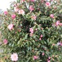 "Camellia ""Donation"" - the bush (Camellia x williamsii ""donation"")"