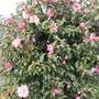 """Camellia x williamsii """"donation"""""""