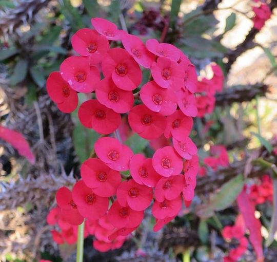 Euphorbia milii close up (Euphorbia milii)