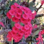 Euphorbia_milii1