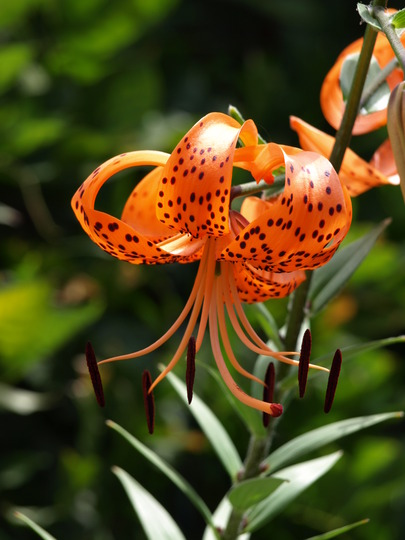 Hope you guys like Tiger lilies as much as I do...  :)