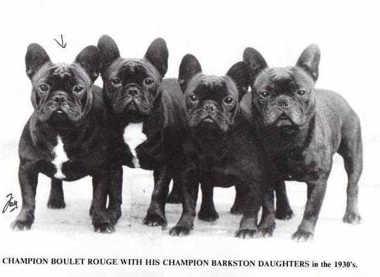 Old English photo of frenchies (nobody knows, who got it here)