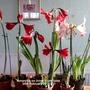 Amaryllis on living room table 24-02-2015 001 (Amaryllis)