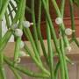 Rhipsalis baccifera, with berries ...