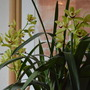 Green, Yellow Cymbidium Orchid (Cymbidium)