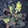 Corydalis_cheilanthifolia