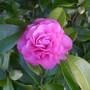 Camellia_pink_2015