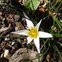 Romulea bulbocodium var leichtlinii - 2015 (Romulea bulbocodium)