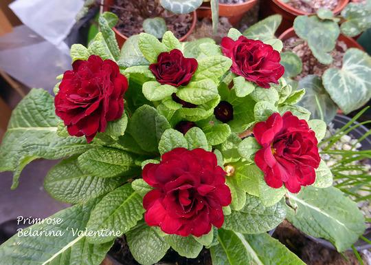 Primula Belarina  Valentine