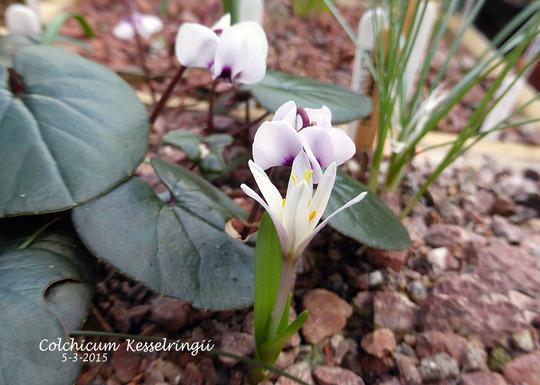 Colchicum Kesselringii