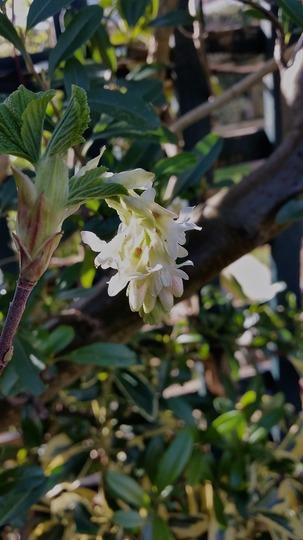 Ribes Elkingtons White ........ (Ribes sanguineum Elkington's White.)