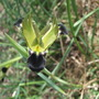 Hermodactylus tuberosus (Hermodactylus tuberosus)