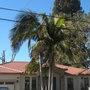 Archontophoenix cunninghamiana - King Palms (Archontophoenix cunninghamiana - King Palm)