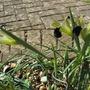 A loose clump of Hermodactylus  Iris (Hermodactylus tuberosus)