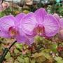 phalaenopsis orchid (Phalaenopsis aphrodite)