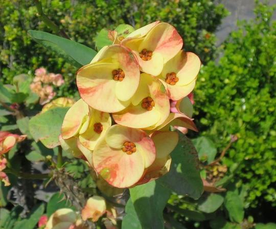 Interesting Euphorbia milii.  (Euphorbia milii)
